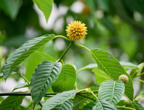 What is Kratom?